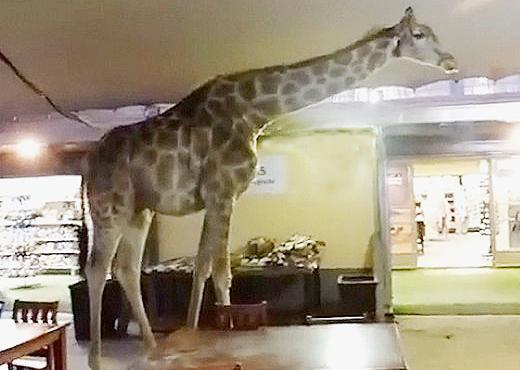 Жираф случайно зашел в ресторан