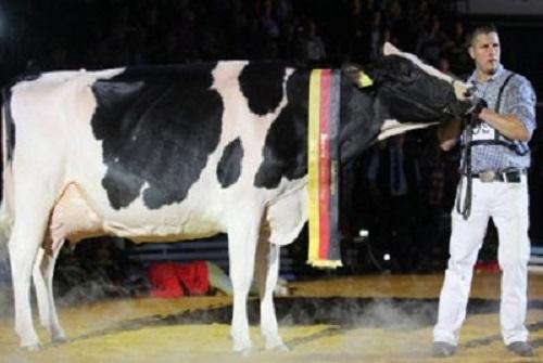 Леди Гага признана самой красивой коровой в Германии