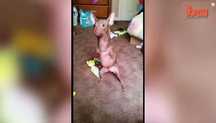 Двуногая чихуахуа научилась прыгать, как кенгуру