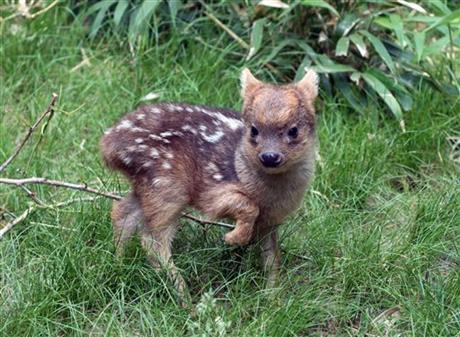 В зоопарке США ( г.Нью-Йорк) родился самый маленький олененок в мире