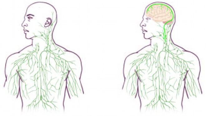 Раскрыто «недостающее звено» между мозгом и иммунной системой