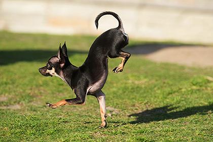 Собака Конжо из Калифорнии стала рекордсменкой по самому быстрому бегу на передних лапах