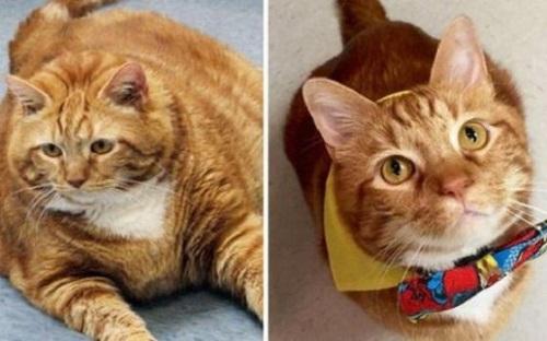 Самый толстый в мире кот похудел