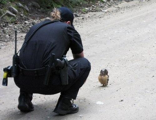 Совенок преградил дорогу полицейскому автомобилю