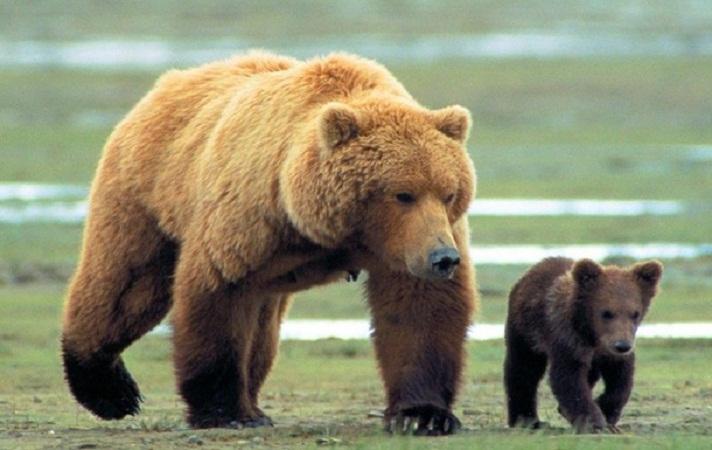 В Йеллоустонском парке медведица и медвежонок разорвали человека