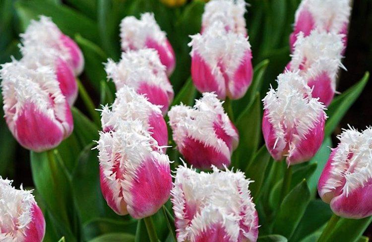Самые красивые виды тюльпанов, 30 фото