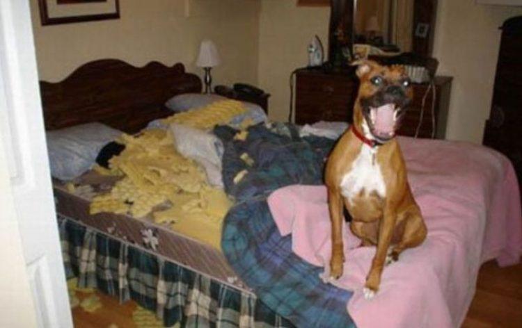 Остается лишь понять и простить: 40 смешных проделок собак