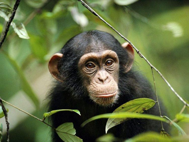 Shimpanze_samyye opasnyye zhivotnyye s vidu bezobidnyye